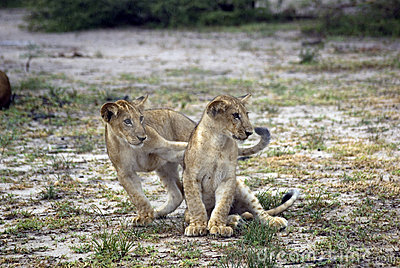Lions, Selous Game Reserve, Tanzania