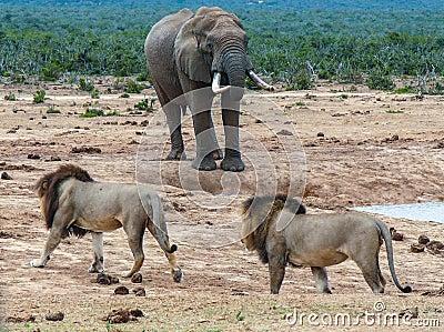 Lions stalking elephant