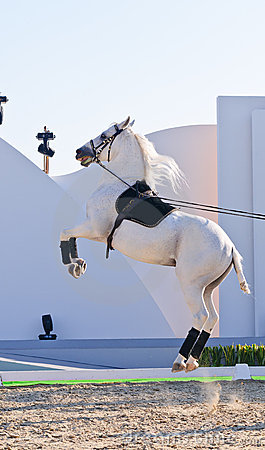 Lipizzan Stallions show Editorial Stock Image