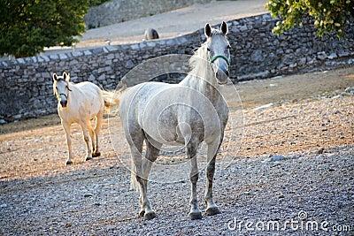 Lipizzaner horse