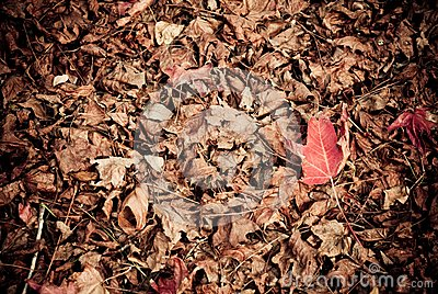 Liquidambar red leaf on the ground
