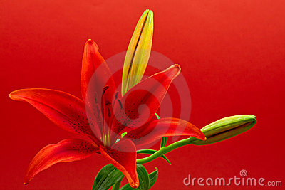 Lirio de la estrella de mañana (concolor del lilium)