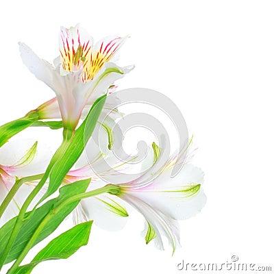 Lis blanc