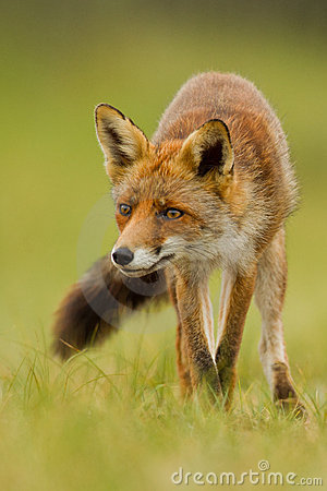 Lis czerwień