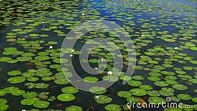 Lis flottant placé sur un Bacalar, lagune du Mexique banque de vidéos