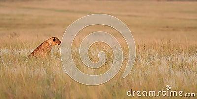 Lisiątko lew