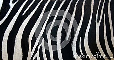 Listras da zebra