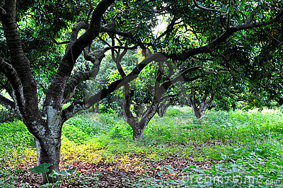 Litchi trees and fallen leaves