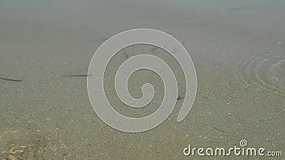 Liten fisk i ett damm i morgonljuset arkivfilmer