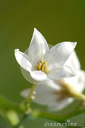 Liten white för blomma