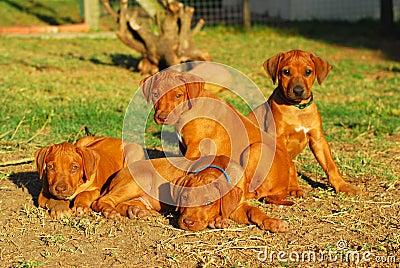 Litter Rhodesian puppies