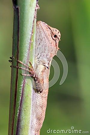 Little Agama lizard