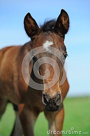Free Little Arabian Foal Looking Royalty Free Stock Images - 64997909
