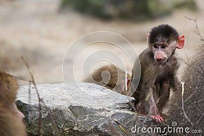 Little baboon