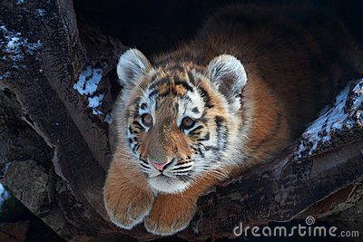 A little baby tiger