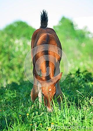 Little  bay Hanoverian foal