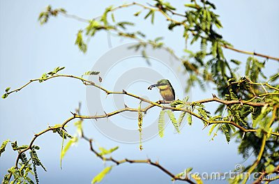 Little bee-eater and his pray