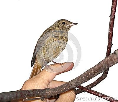 Little bird -black redstart