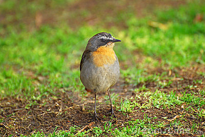 Little bird - Cape Robin Chat