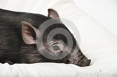 little black pig lie on a pillow