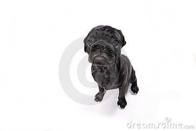 Little black pug