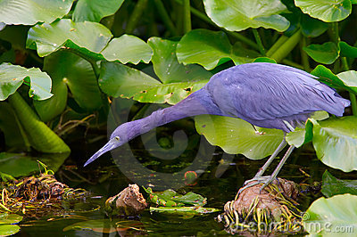 Little blue heron habitat