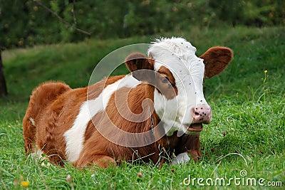 little brindle calf