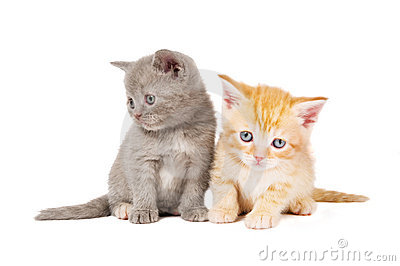 Little british shorthair kittens
