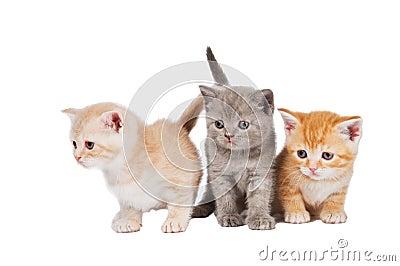 Little british shorthair kittens