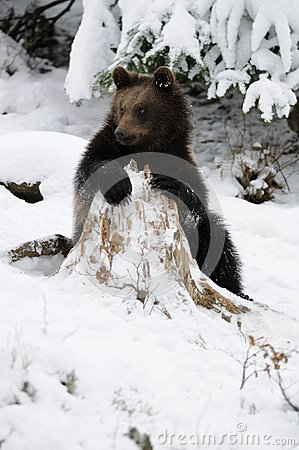 Little Brown Bear in Winter Landscape