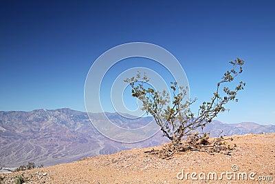 Little bush at Death Valley