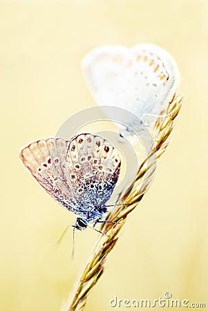 Little butterflies on a wheat stalk