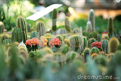 Little cactuses