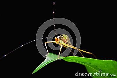 Little capricorn beetle closeup
