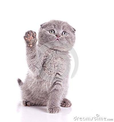 Little cat gray british