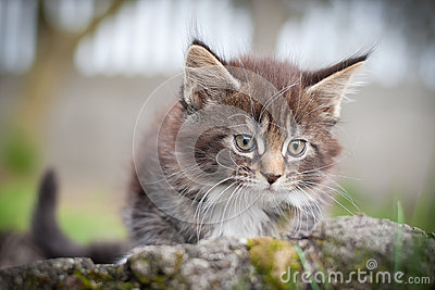 Little cat - Maine Coon