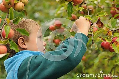 Little child picking apples