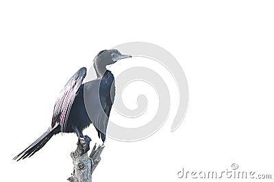 Little Cormorant bird