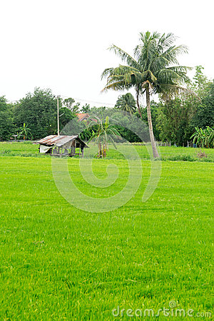 Free Little Cottage In Green Rice Field Royalty Free Stock Image - 44772576