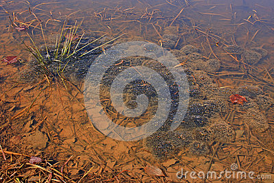 Red Spotted Newt Egg Colony