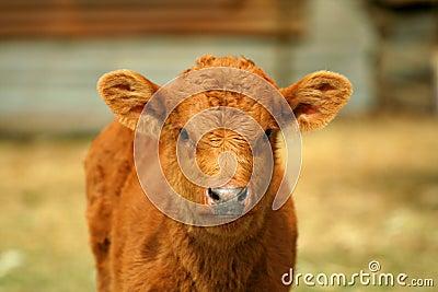 Little cow II