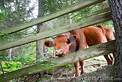 Little cow looks from a wooden fence in the forest