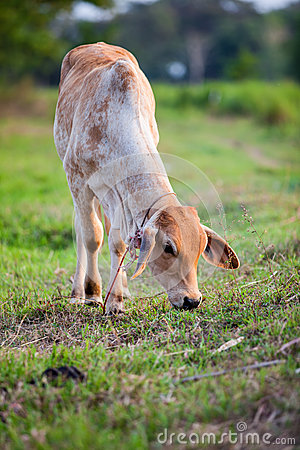 Little cow standing alone