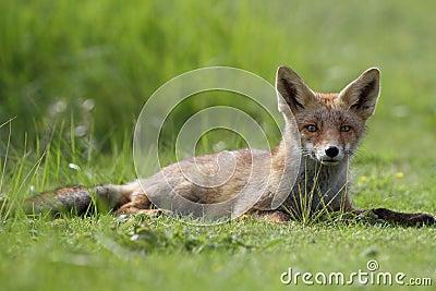 Little cub red fox
