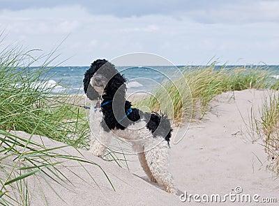 Little dog at beach