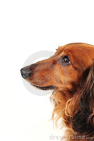 Little dog profile