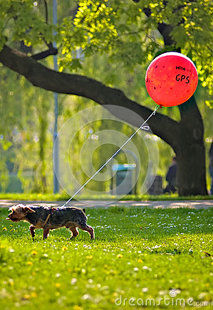 Little dog with red gps ballon