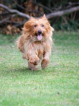 little dog running