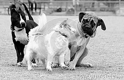 Little dog scaring the Mastiff