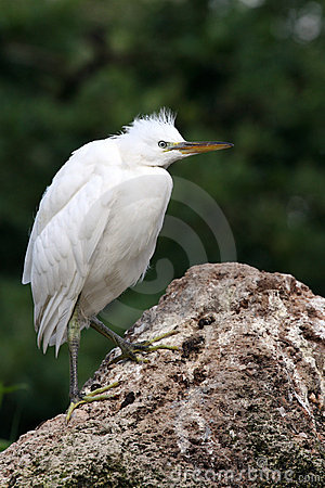 Free Little Egret Royalty Free Stock Photo - 14554135